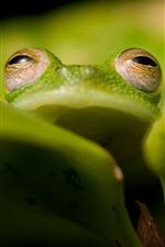 Green frog, eyes, leaf