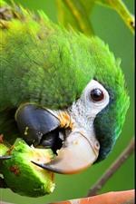 O papagaio verde come a fruta