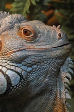 Preview iPhone wallpaper Iguana, lizard, head, eyes
