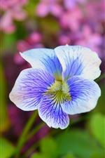 Iris, pétalos, primavera.
