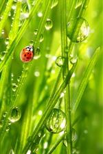 Ladybug, grama verde, gotas de água
