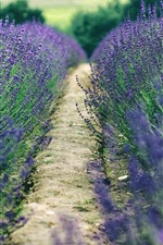 Preview iPhone wallpaper Lavender field, purple flowers, path