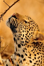 Preview iPhone wallpaper Leopard look up, tree, wildlife