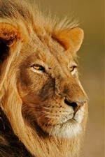 Preview iPhone wallpaper Lion, look, wildlife, sunshine