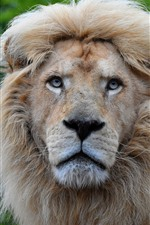 Preview iPhone wallpaper Lion, look, wildlife
