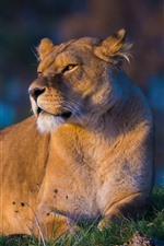 Preview iPhone wallpaper Lion rest, sunshine, look