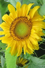 Preview iPhone wallpaper Lonely sunflower, yellow petals, green leaves