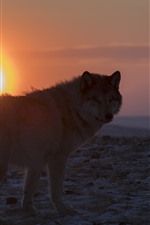 Preview iPhone wallpaper Lonely wolf look back, sunset