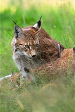 Preview iPhone wallpaper Lynx, grass, wildlife
