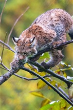 Preview iPhone wallpaper Lynx in tree, twigs