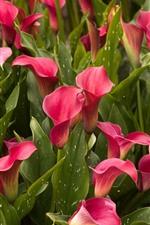 Muitos lírios de Calla cor-de-rosa