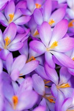 Preview iPhone wallpaper Many pink crocuses, spring
