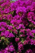 Preview iPhone wallpaper Many purple bougainvillea flowers blossom, spring