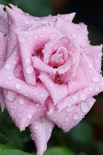 Preview iPhone wallpaper One pink rose, petals, water droplets