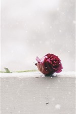 Preview iPhone wallpaper One red rose, snowy