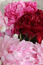 Preview iPhone wallpaper Pink and red peonies flowers, petals