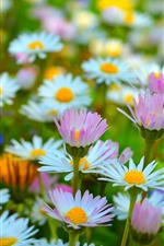 Preview iPhone wallpaper Pink and white chamomile, flowers, spring