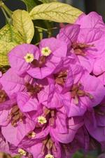 Buganvillas rosas, floración, primavera