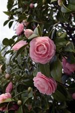 iPhone壁紙のプレビュー ピンク椿、小枝、葉、花