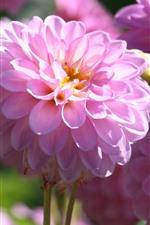 iPhone壁紙のプレビュー ピンクのダリアの花、春、明るい