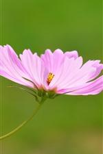 iPhone fondos de pantalla Primer plano de flor de kosmeya rosa, pétalos, fondo verde