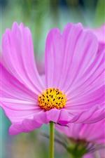 iPhone壁紙のプレビュー ピンクコスメヤ花マクロ写真、花びら