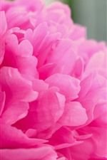 Preview iPhone wallpaper Pink peony macro photography