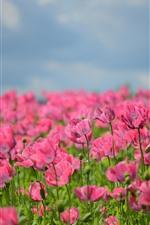 Amapolas rosas, flores, brumoso