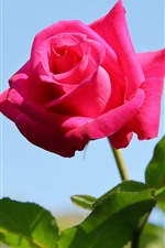 Preview iPhone wallpaper Pink rose close-up, blue background