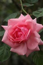 Rosa de cerca, pétalos, hojas