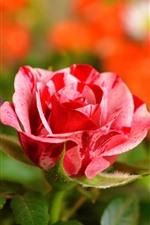 Rosa macro fotografía, pétalos, hojas