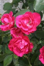 Rosas rosas, hojas verdes, primavera.