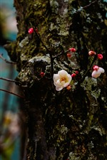 Preview iPhone wallpaper Plum flowers bloom, trunk, spring