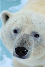 Polar bear look at you, face, eyes, nose