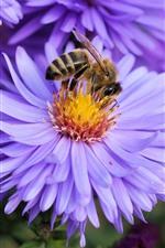 Purple petals flowers, chamomile, bee