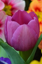 Preview iPhone wallpaper Purple tulip and orange flowers