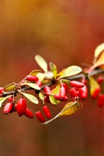 Preview iPhone wallpaper Red berries, briar, leaves