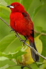 Preview iPhone wallpaper Red feather bird, green leaves