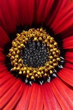 Red osteospermum, petals