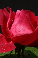 Preview iPhone wallpaper Red rose close-up, petals, water droplets, light