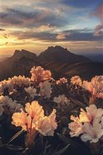 Rhododendron, montanhas, nascer do sol, manhã
