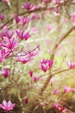 Preview iPhone wallpaper Rhododendron, pink flowers bloom, twigs, spring