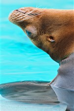 Preview iPhone wallpaper Sea lion out water