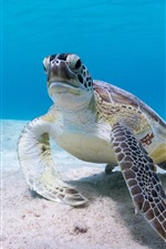 Preview iPhone wallpaper Sea turtle, underwater
