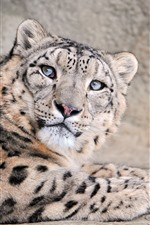 Preview iPhone wallpaper Snow leopard look up, face, rest