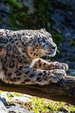 Preview iPhone wallpaper Snow leopard rest, rocks