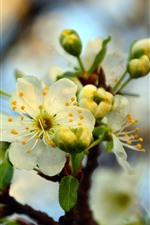 Preview iPhone wallpaper Spring, white cherry flowers bloom, blurry background