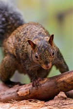 Squirrel, tail, trunk