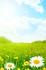 Summer, chamomile, green grass, sky, clouds, glare
