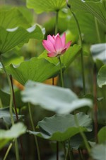 Preview iPhone wallpaper Summer flowers, pink lotus, green foliage